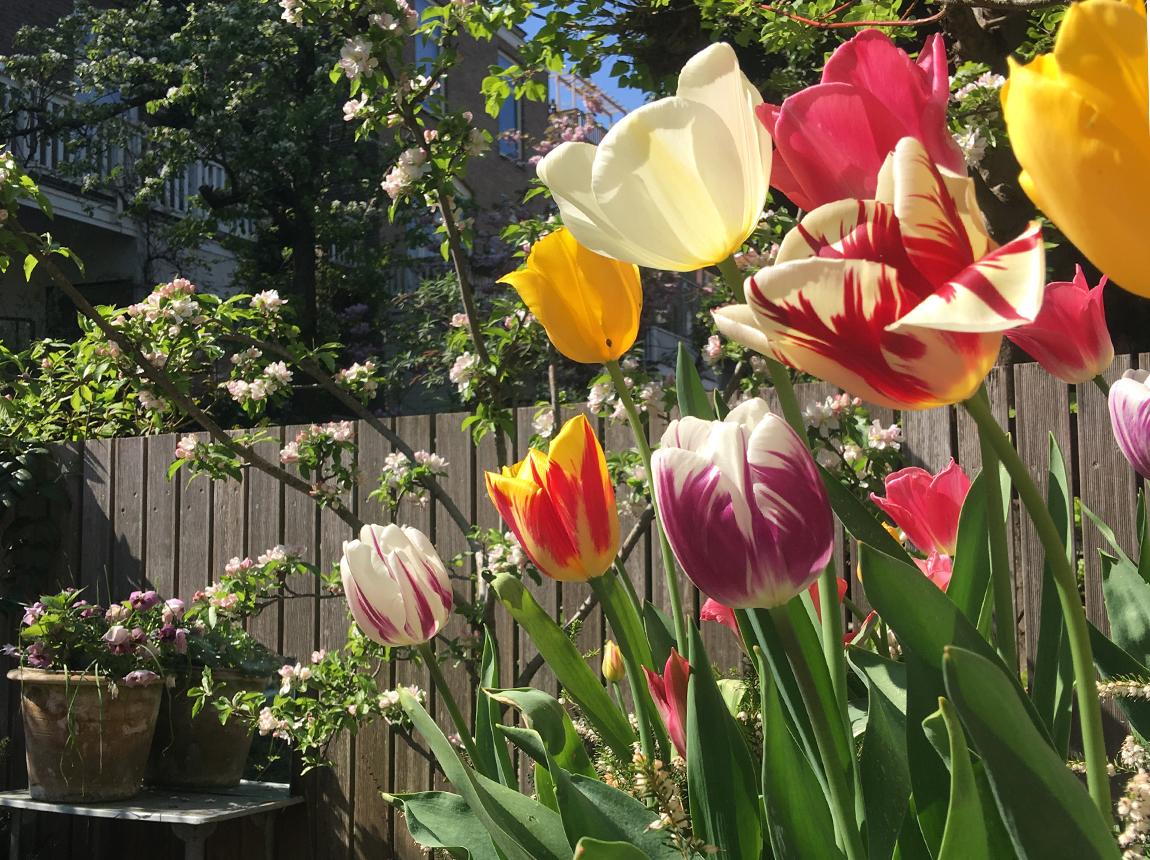 6-tulpen in tuin
